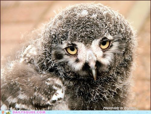baby,disdain,down,downy,glaring,molting,Owl,owlet,snowy owl,squee spree