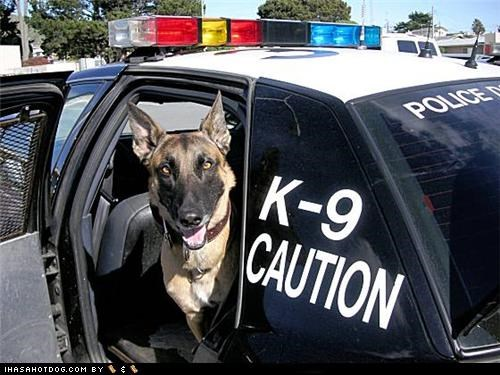 Belgian Malinois car k9 k-9 police police and safety police car