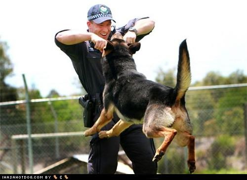german shepherd goggie ob teh week in training police police and safety police dogs training - 5144818176