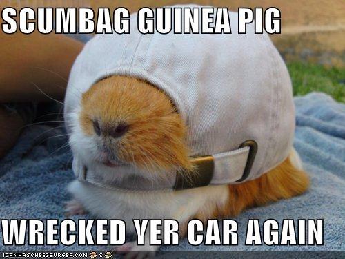 SCUMBAG GUINEA PIG  WRECKED YER CAR AGAIN