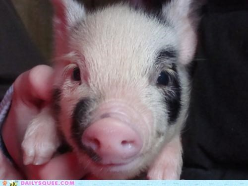adorable brevity Hall of Fame million oink one one million pig piglet sound - 5146487296