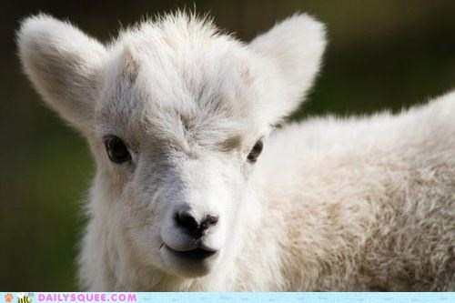 adorable alaskan alaskan sheep baby dall dall sheep energetic lamb rare