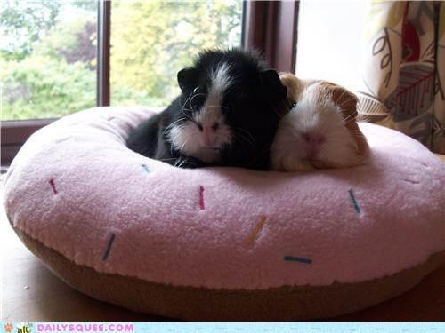 bed,donut,doughnut,guinea pig,guinea pigs,Hall of Fame,reader squees,relaxing,shape,sleeping