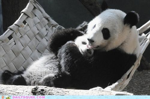 panda bears mother panda touching subtle panda bear baby kissing Hall of Fame little things licking love cub adorable - 5149737728