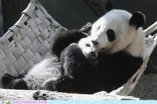 adorable baby cub Hall of Fame kissing licking little love mother panda panda bear panda bears subtle things touching - 5149737728