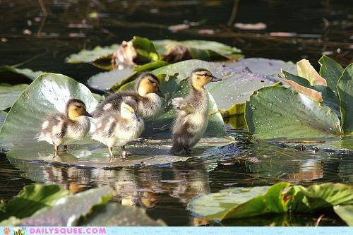 Babies baby duckling ducklings follow follow the leader following leader lost waddling - 5149763328
