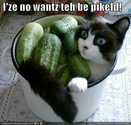 afraid,bucket,caption,captioned,cat,cucumber,do not want,pickled