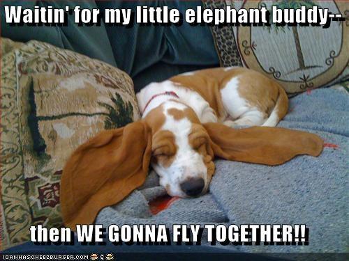 asleep basset hound big ears dreaming dumbo ears fly sleeping - 5150145024