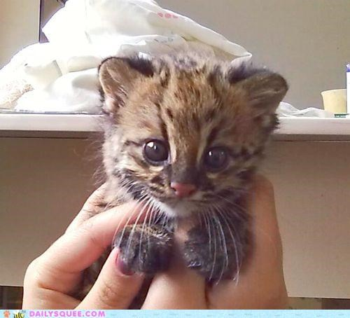 adorable cousin daww Hall of Fame ocelot oncilla rescued tiny whatsit whatsit wednesday