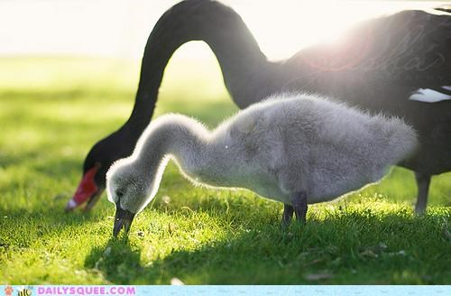 baby cygnet imitating mimicking mother swan swans