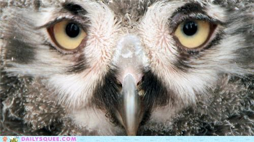 baby closeup eyes gaze Owl owlet snowy owl snowy owlet squee spree - 5157554688