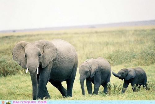 baby catching up chasing elephant elephants following pachyderm parent pragmatism running sibling siblings wait