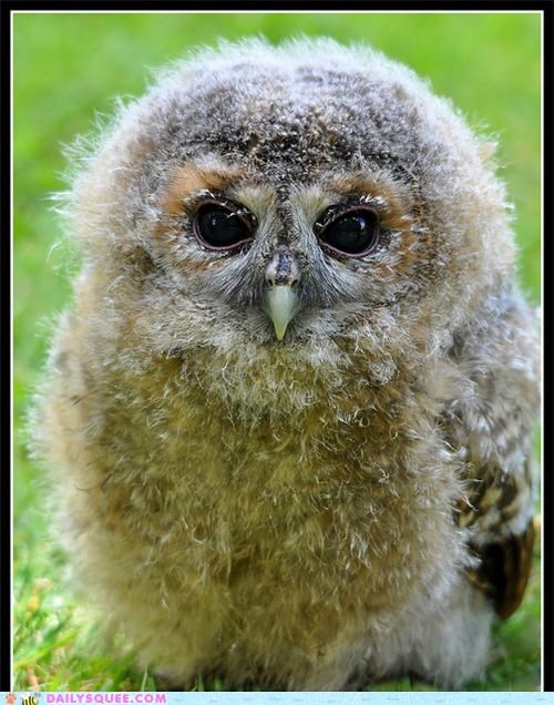 baby barn owl barn owlet floof fluff Fluffy Hall of Fame Owl owlet pun squee spree stuff - 5160844032