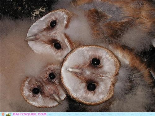 Babies,baby,barn owl,barn owlet,barn owlets,barn owls,different,shape,size,squee spree,three,variety,variety pack