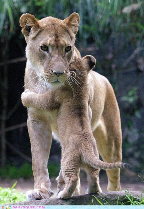 baby children cub good Hall of Fame hug hugging lion lioness love reason touching valid