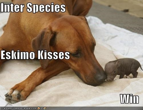 doberman pinscher,eskimo kisses,german pinscher,inter speciail eskimo kisses,KISS,kisses,love,pig,whatbreed,win