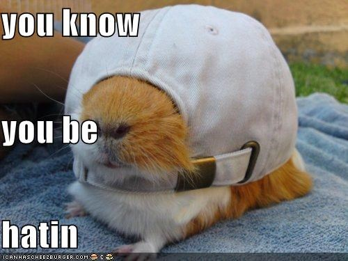 animals gpigs guinea pigs hatin hats I Can Has Cheezburger - 5165975296