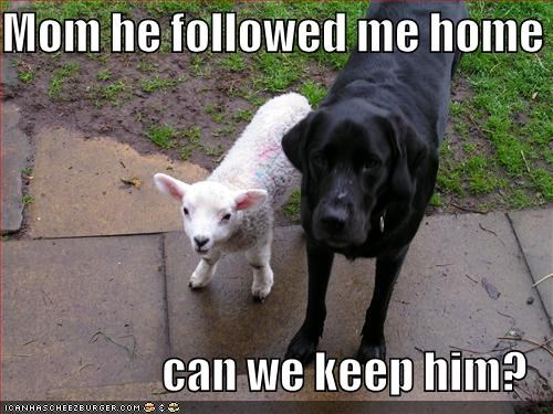 Black Lab follow followed me home friends friendship keep him labrador retriever sheep - 5168851712