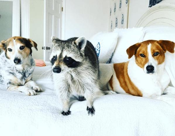 dogs racoon BFFs instagram - 5171973