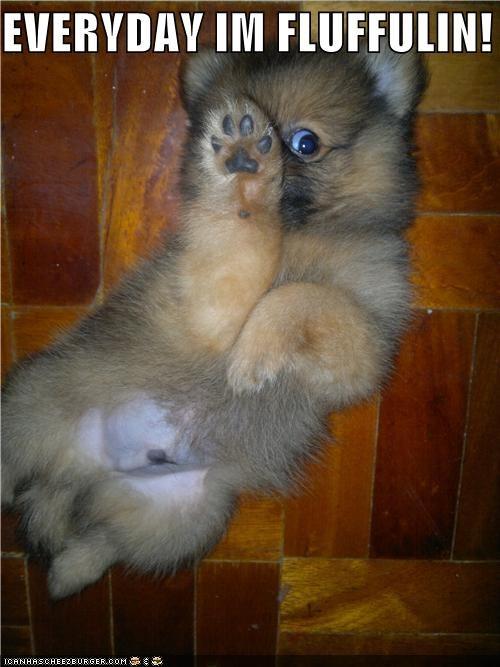 Fluffy fun funny fuzzy pomeranian puppy silly dog - 5172321792