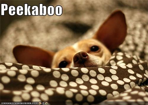 chihuahua laying down peekaboo rest resting sweet sweet face - 5173664768