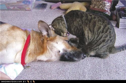cat friends friendship german shepherd kittehs r owr friends love nudge - 5173877504