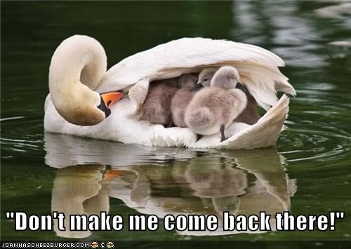 Babies,baby,back,caption,captioned,come,cygnet,cygnets,dont,make,me,swan,swans,there