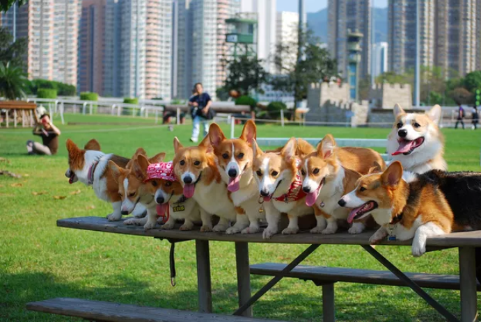 photos happy corgis - 5174277