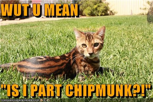 caption captioned cat chipmunk coloration is part pattern question resemblance TLL what you mean