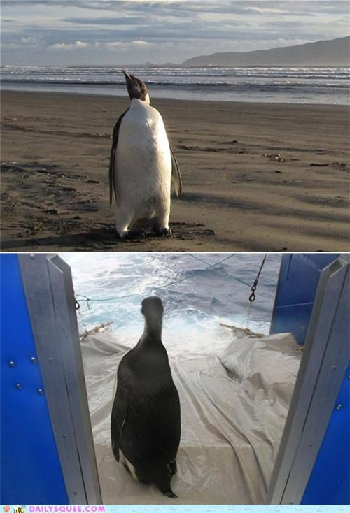 acting like animals,amazing,found,happy feet,heartwarming,home,journey,lost,penguin,recovery,touching
