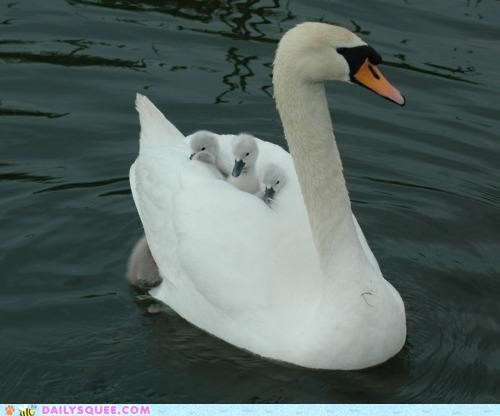 Babies baby back to school better bus comparison cygnet cygnets Hall of Fame ride riding swan swans - 5177891072