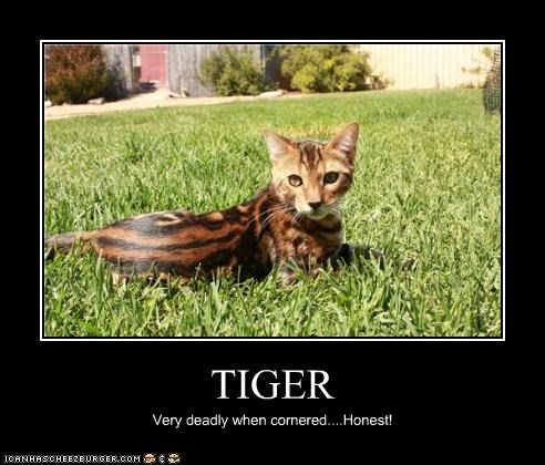 TIGER Very deadly when cornered....Honest!