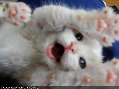 cyoot kitteh of teh day mouth open paws surprise tiny toes white - 5178979840