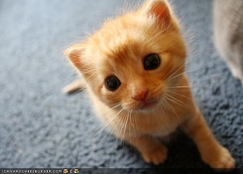 black eyes,creamsicle,cute,cyoot kitteh of teh day,eyes,orange