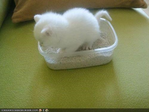 cyoot kitteh of teh day,litter,litter box,litterbox,tiny,tupperware,white
