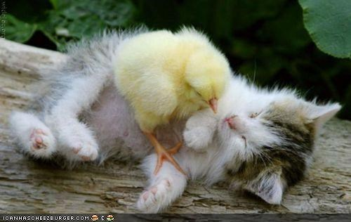 birds,chickens,chicks,cyoot kitteh of teh day,Interspecies Love,sleeping