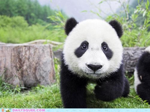 approaching Hall of Fame impending panda panda bear pandemonium prefix pun similar sounding - 5179090432
