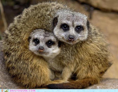 bundle cuddling heap lolwut meerkat Meerkats pun puns - 5179109632