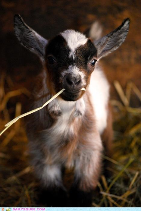 adorable baby calf colloquialism cute goat Hall of Fame lolwut qed rationale slang squee syllogism totally totes totes mcgoats