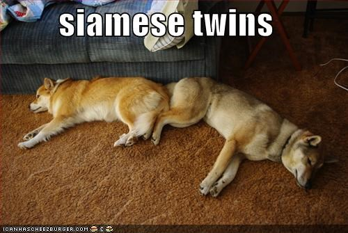 asleep,friends,laying down,malamute,shiba inu,siamese twins,sleep,sleeping,twins