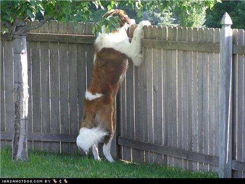 fence goggie ob teh week peak peek a boo saint bernard sneaky st bernard - 5181464832