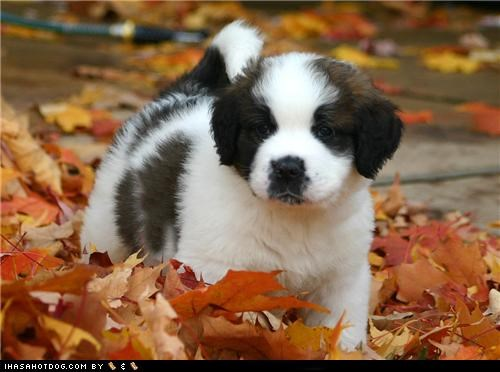 autumn,fall,goggie ob teh week,leaves,puppy,saint bernard,st bernard