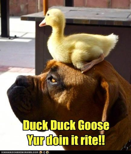 duck,duck duck goose,friends,friendship,mastiff