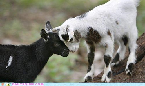adorable Babies baby bonk calf calves cute gesture goat goats head headbonk heads small subtle touching - 5185576704