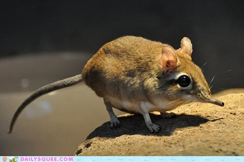 adorable,elephant shrew,pun,rufous elephant shrew,shrew,tiny