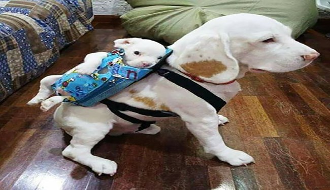 dogs giving other dogs a piggy back rid