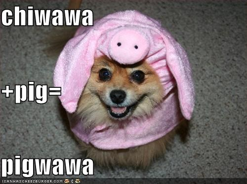 chihuaha,costume,happy dog,pig costume,pigwawa,smile,smiling
