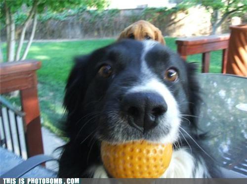 animal Animal Bomb dogs jealous pets play ball - 5189055744