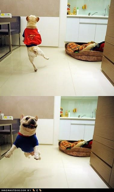 costume french bulldogs happy happy dog smile smiling super hero superhero superman - 5192653568