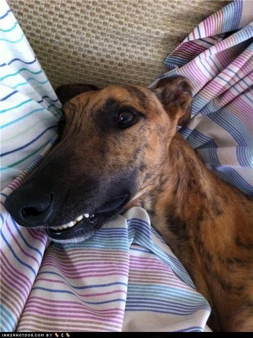 goggie ob teh week greyhound happy happy dog smile smiling teeth - 5195233792